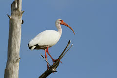 White Ibis Perched in a Tree Royalty Free Stock Images