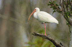White Ibis perched in tree Stock Images