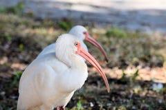 White ibis at pond Stock Photos