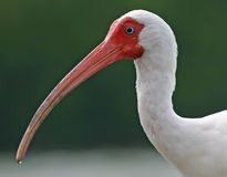 White ibis portrait Stock Photography