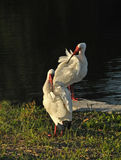 White Ibis Preening Session, Florida Royalty Free Stock Image