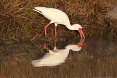 White Ibis and Reflection Royalty Free Stock Images