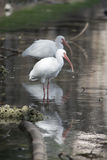 White ibis resting in a tranquil pond in Florida. White ibis Eudocimus albus is a white wading bird that feeds in wetlands and estuaries in southeastern U.S Royalty Free Stock Photo