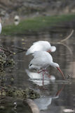 White ibis scratching and preening reflected in a tranquil pond Royalty Free Stock Image