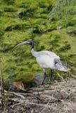 White Ibis Royalty Free Stock Image