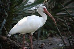White ibis. Ibis sitting on a wood branch Royalty Free Stock Photos
