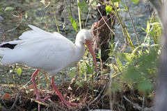 A White Ibis in the Six Mile Cypress Slough Stock Photos