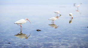 White Ibis and a Spoonbill Feeding in Shallow Sea Royalty Free Stock Image