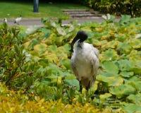 White ibis in Sydney in Australia Stock Image