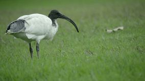White Ibis in a Sydney park. Scene of a white Ibis in a Sydney park stock footage