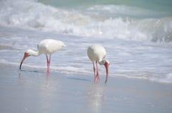 White ibis Stock Image