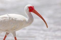 White Ibis stock images