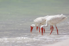 White Ibis Royalty Free Stock Photography