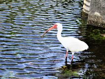 White ibis wading in city pond. Florida ibis wading amid ripples in the water of a pond outside apartment building near a busy city street in south Tampa stock photo