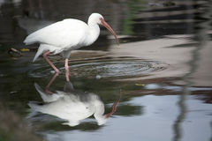 White ibis wading and reflected in a tranquil pond Stock Photography