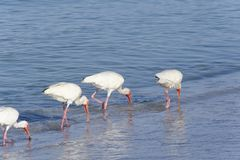 White Ibis Walking on Beach Stock Images