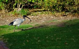 White Ibis walking on green grass royalty free stock images