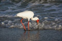 White Ibis Eudocimus albus walking in shallow surf on the Gulf of Mexico. Royalty Free Stock Image