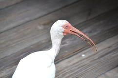 White ibis Stock Photography