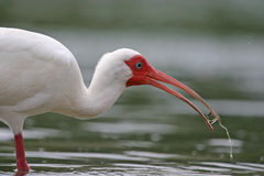 White ibis with water in beak Stock Photo
