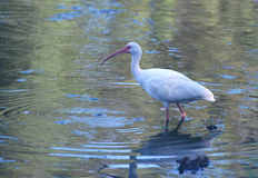 White ibis with water dripping from his beak royalty free stock photos