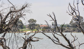 White Ibis: Wetland Life Stock Photos