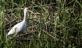 White Ibis. In wetlands water Royalty Free Stock Photo