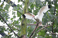 WHITE IBIS WINGS Stock Images