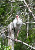 A White Ibis 2. This is a Winter picture of a White Ibis perched in a tree in the Everglades located in Big Cypress National Preserve in Ochopee, Florida in stock images