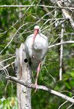 A White Ibis #3. This is a Winter picture of a White Ibis perched in a tree in the Everglades located in Big Cypress National Preserve in Ochopee, Florida in royalty free stock photos