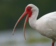 Free White Ibis With Mouth Open Royalty Free Stock Photo - 123105