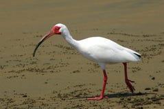 white ibisa Fotografia Stock