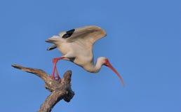 white ibisa Obraz Royalty Free