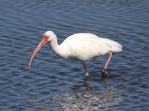 white ibisa Obrazy Stock