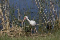 white ibisa Obrazy Royalty Free