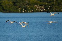 White Ibises in flight Royalty Free Stock Images