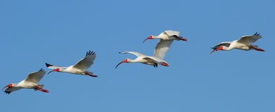 White Ibises in flight Stock Image