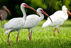 White Ibises Foraging for Insects. A group of white ibises tread through grass foraging for insects in Florida royalty free stock photos