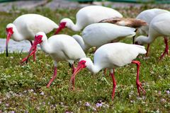 White Ibises Stock Photo