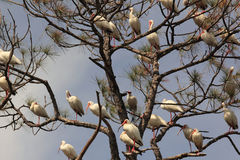 White Ibises Perched in Pine Tree Royalty Free Stock Photos