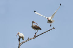 White Ibises - Texas Royalty Free Stock Images