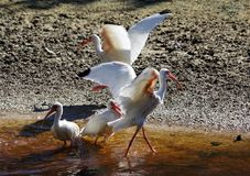 White Ibises wading in Florida Mangrove. White ibises captured splashing in the mangrove swamps of Sanibel Island, Florida royalty free stock photo