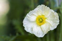 White Iceland Poppy Royalty Free Stock Photography