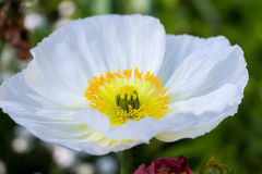 White Iceland poppy Stock Image