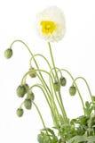 White Iceland poppy (Papaver nudicaule) Stock Images