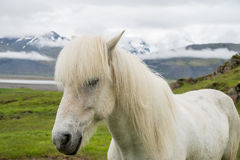 White icelandic horse Stock Images