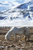 White Icelandic horse in front of snowy mountains Stock Images