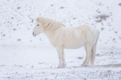 White icelandic horse in the mountains in Iceland. stock photo