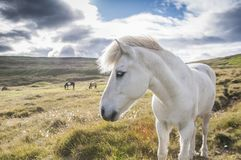 White icelandic horse profile, Iceland. Beutiful, white icelandic horse breed profile. with head close up and two other horses in the background stock photo