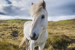 White icelandic horse standing on a grassland in Iceland. Beautiful white icelandic horse standing on a grassland in Iceland on summer day royalty free stock image
